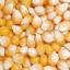 ข้าวโพดป็อปคอร์น - South American Yellow Pop Corn thumbnail 3