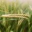 ข้าวบาร์เลย์ - Barley Rice thumbnail 5