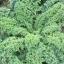 (Whole 1 Oz) ผักคะน้าเคลไซบีเรียน - Siberian Dwarf Kale thumbnail 3