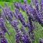 (Big Pack) ลาเวนเดอร์ - English Lavender thumbnail 4