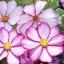 ดาวกระจาย พิโคที - Picotee Cosmos Flower thumbnail 2