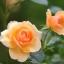 กุหลาบเลื้อยสีส้ม thumbnail 1
