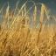 ข้าวบาร์เลย์ - Barley Rice thumbnail 3