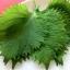 ชิโซะ - Green Shiso thumbnail 1