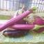 มะเขือม่วงยาวแคลิฟอร์เนีย - CA Long Purple Eggplant thumbnail 2