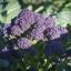 เบบี้บล็อคโคลี่สีม่วง - Purple Sprouting Broccoli thumbnail 2