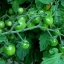 มะเขือเทศ สวีทมิลเลี่ยน - Sweet Million Tomato F1 thumbnail 3