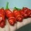 พริกกระจู๋ สีแดง - Red Peter Pepper thumbnail 4
