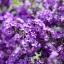 ดอกเฮลิโอโทรเป้ (สกัดทำน้ำหอม) ซองละ 5 เมล็ด thumbnail 2