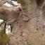 ต้นไม้ยักษ์ เบาบับดิจิทาทา - Adansonia digitata baobab thumbnail 2