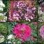 ดอกคลีโอมี 20 เมล็ด/ชุด thumbnail 1