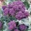 (Whole 1 Oz.) เบบี้บล็อคโคลี่สีม่วง - Purple Sprouting Broccoli thumbnail 1