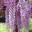 วิสทีเรียสีม่วง - Purple Wisteria thumbnail 1