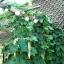 ฮอป (ทำเบียร์) - Common Hops Seeds thumbnail 2