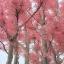 ต้นฟลามิงโก้ ซองละ 5 เมล็ด thumbnail 2