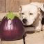มะเขือยักษ์ แอสแวด - Aswad Giant Eggplant thumbnail 2