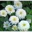 ดอกบานชื่นสีขาว - Mixed White Zinnia Flower thumbnail 2
